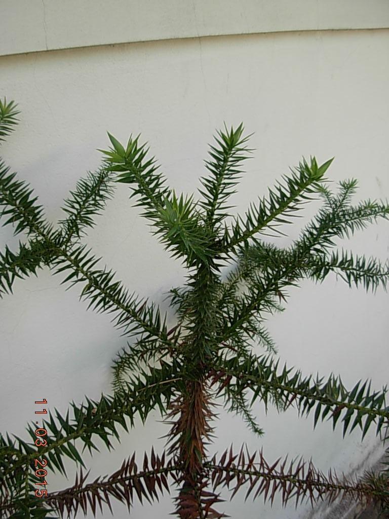 Araucaria Angustifolia - Pino Brasil ,cultivo Orgánico ! - $ 490,00 ...