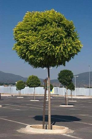 árbol Acacia Bola Acacia Bocha Vivercity 26600 En Mercado Libre