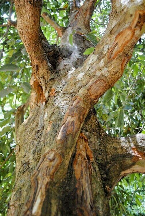 Arbol de canela arbol de algodon natural maceta o for Arboles para cierre de jardin