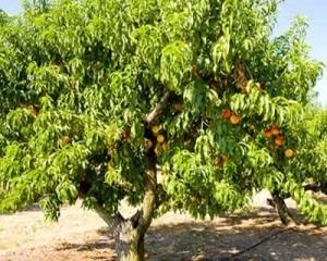 árbol de durazno injerto de 2 años de edad