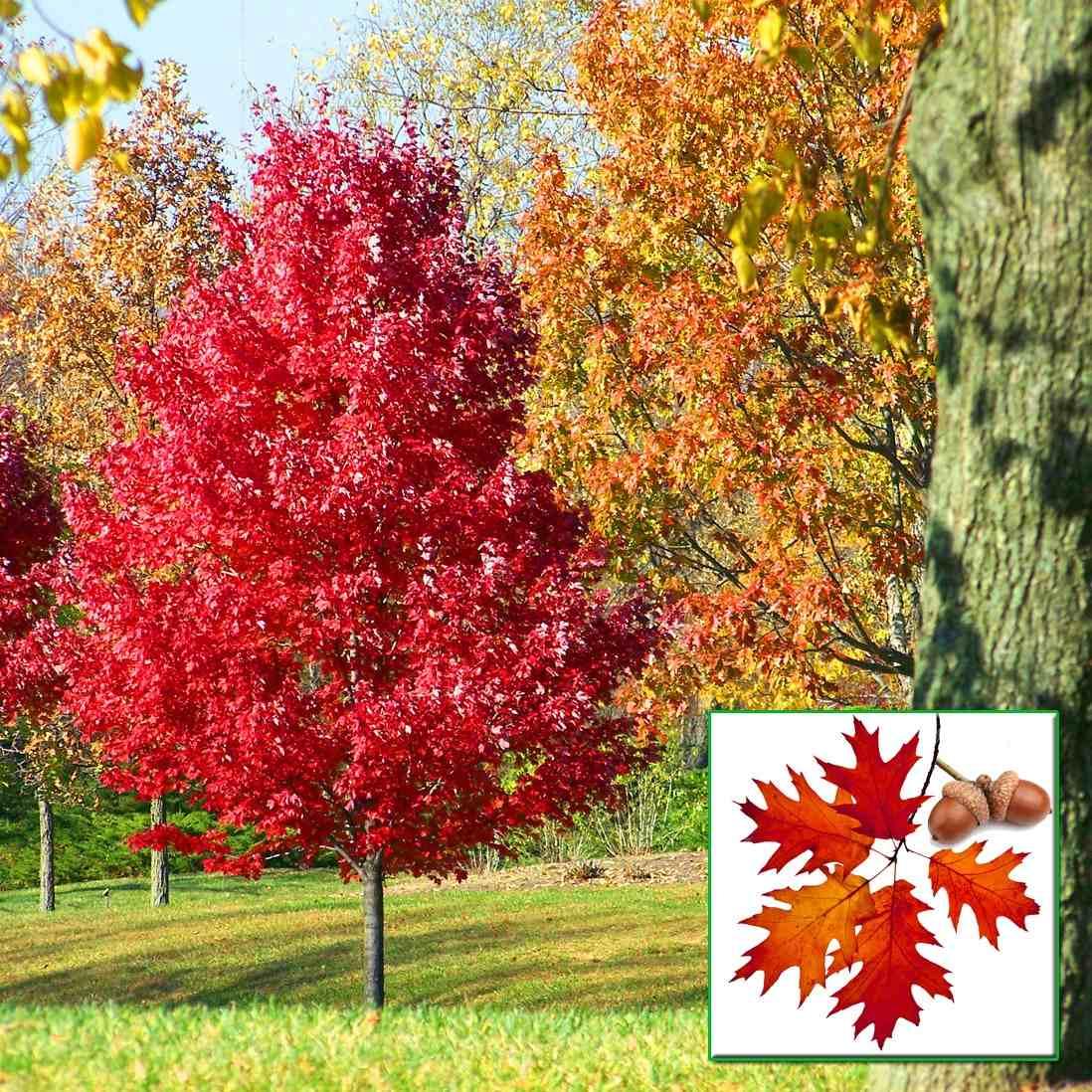 arbol de encino rojo y siempreverde de 90cm de altura