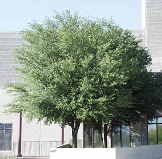 arbol de encino siempre verde quercus virginiana roble
