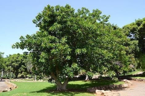 Rbol de ficus en mercado libre for Arboles para sombra de poca raiz