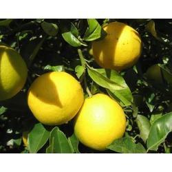 Arbol de limon limonero en mercado libre for Limonero sin limones