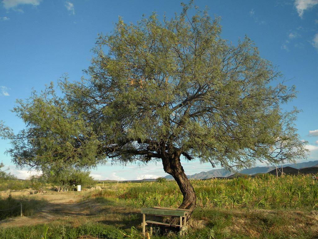 Arbol de mezquite reforestacion en mercado libre for Arbol de fotos manual