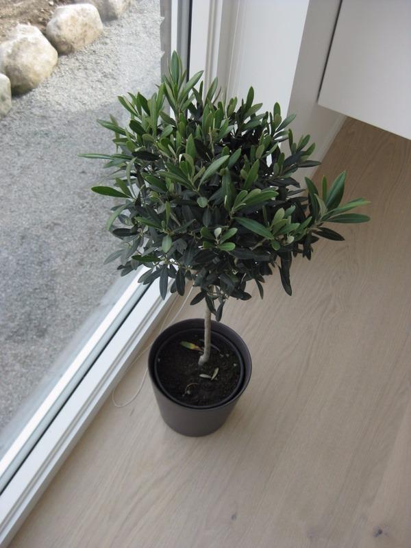 arbol de olivo aceituna enano para maceta o tierra 235