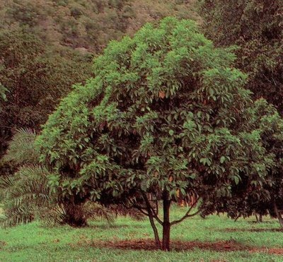 arbol de palta o aguacate de 1 mt de alt 950 00 en On en cuanto tiempo crece un arbol