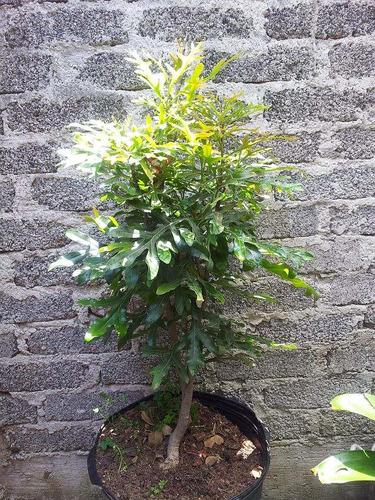 Arbol de ruedas de fuego stenocarpus muy raros 2 300 for Arbol del fuego jardin