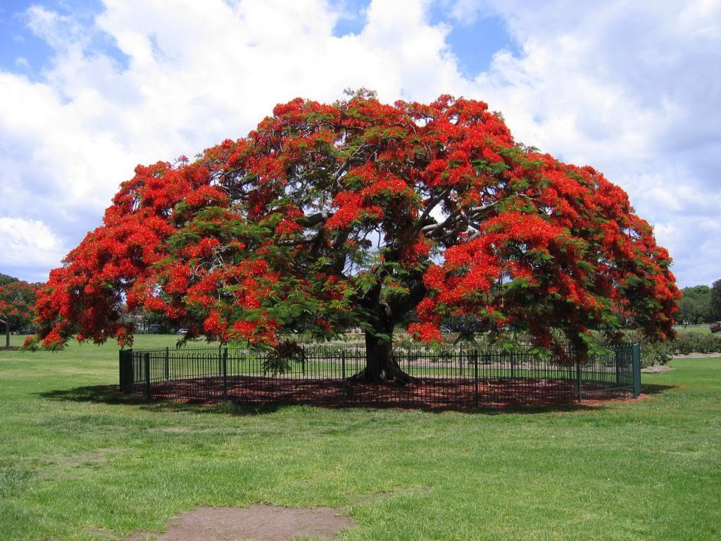Arbol de tabachin flamboyan arbol de fuego en for Arbol de fuego jardin