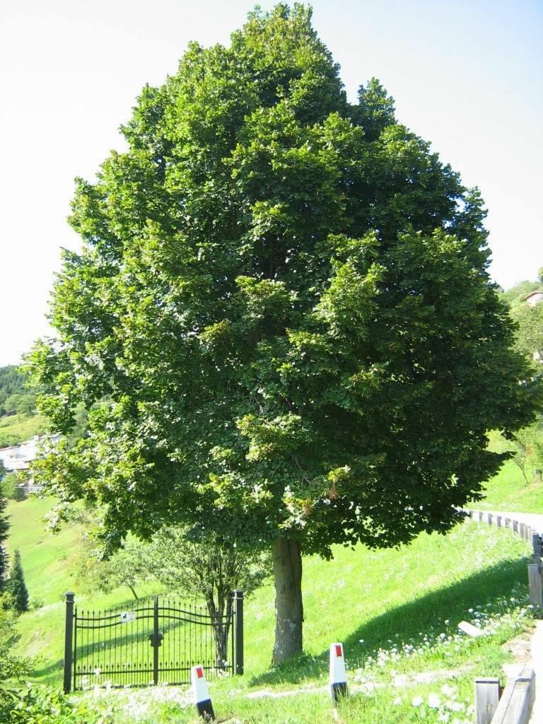 Arbol de tilo tilia platyphyllos arboles 220 00 en for Arboles frondosos para jardin