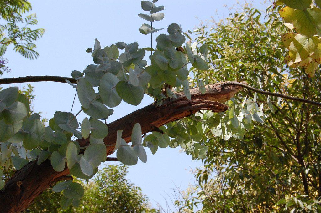 Arbol dolar eucalipto dolar eucalyptus cinerea 150 - Informacion sobre el eucalipto ...