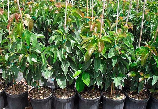 Arbol frutal aguacate hass enano listo para maceta 290 for Arboles frutales pequenos para macetas