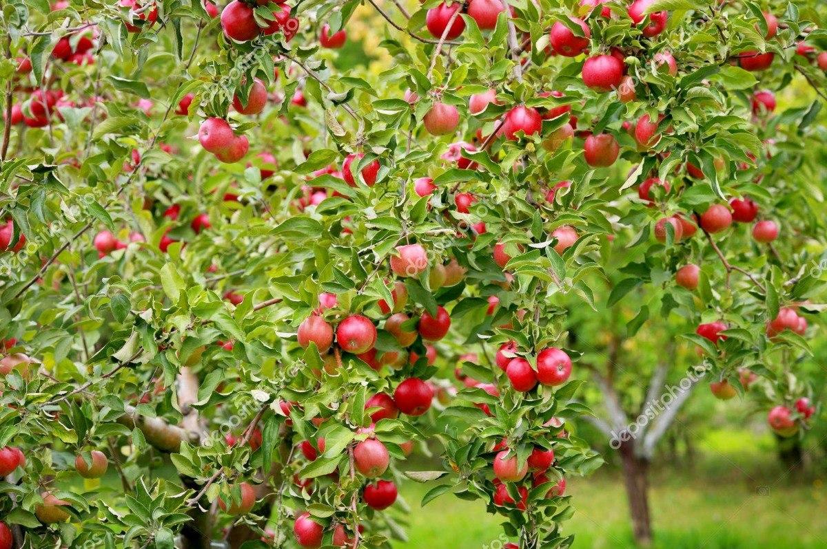Manzano Golden Arbol frutal vivo