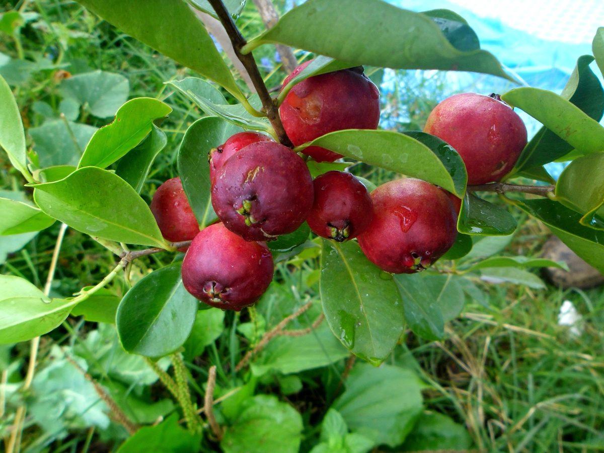 Rbol guayaba fresa arbol m injerto for Las caracteristicas de los arboles