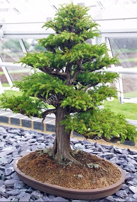 semillas para bonsai