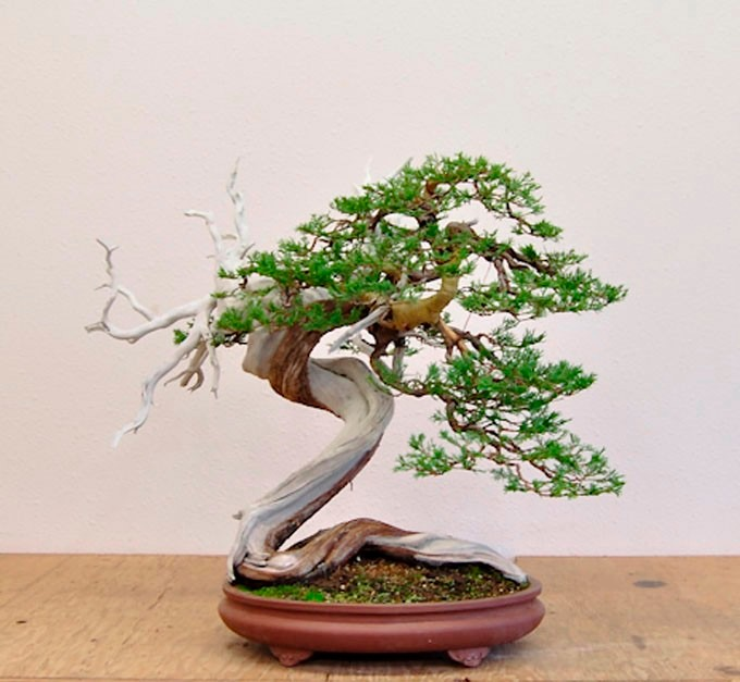 Arbol junipero 15 semillas en mercado libre for Bonsai costo