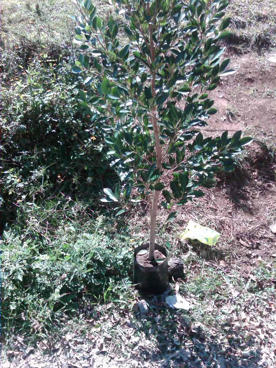 Arbol laurel de la india ficus microcarpa en for Laurel de jardin
