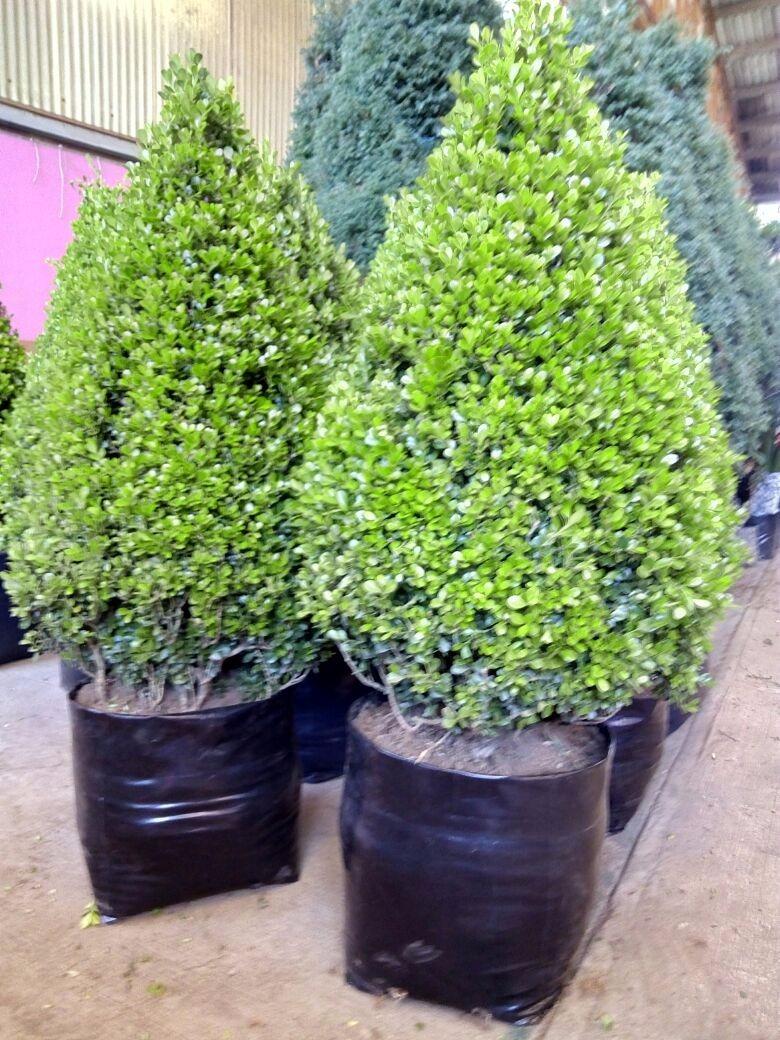 Arbol o pino natural de array n oferta env o gratis for Arboles para macetas de exterior