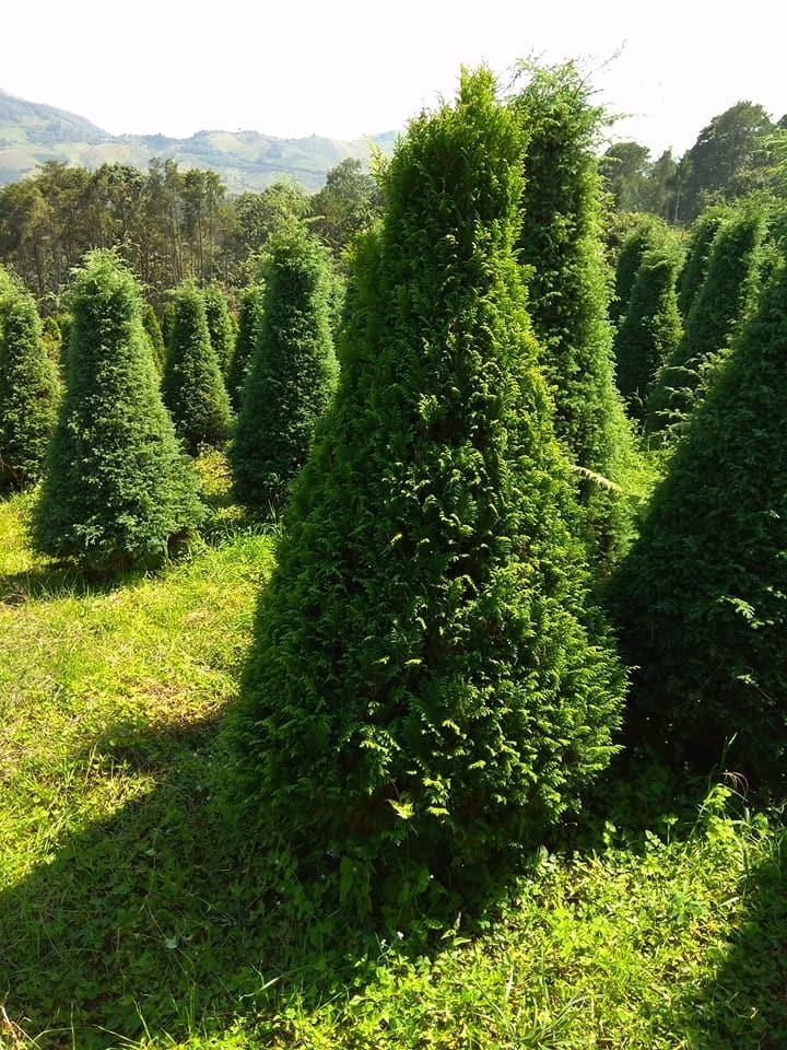 Arbol pino natural navide o navidad 2m oferta env o for Arboles para cierre de jardin