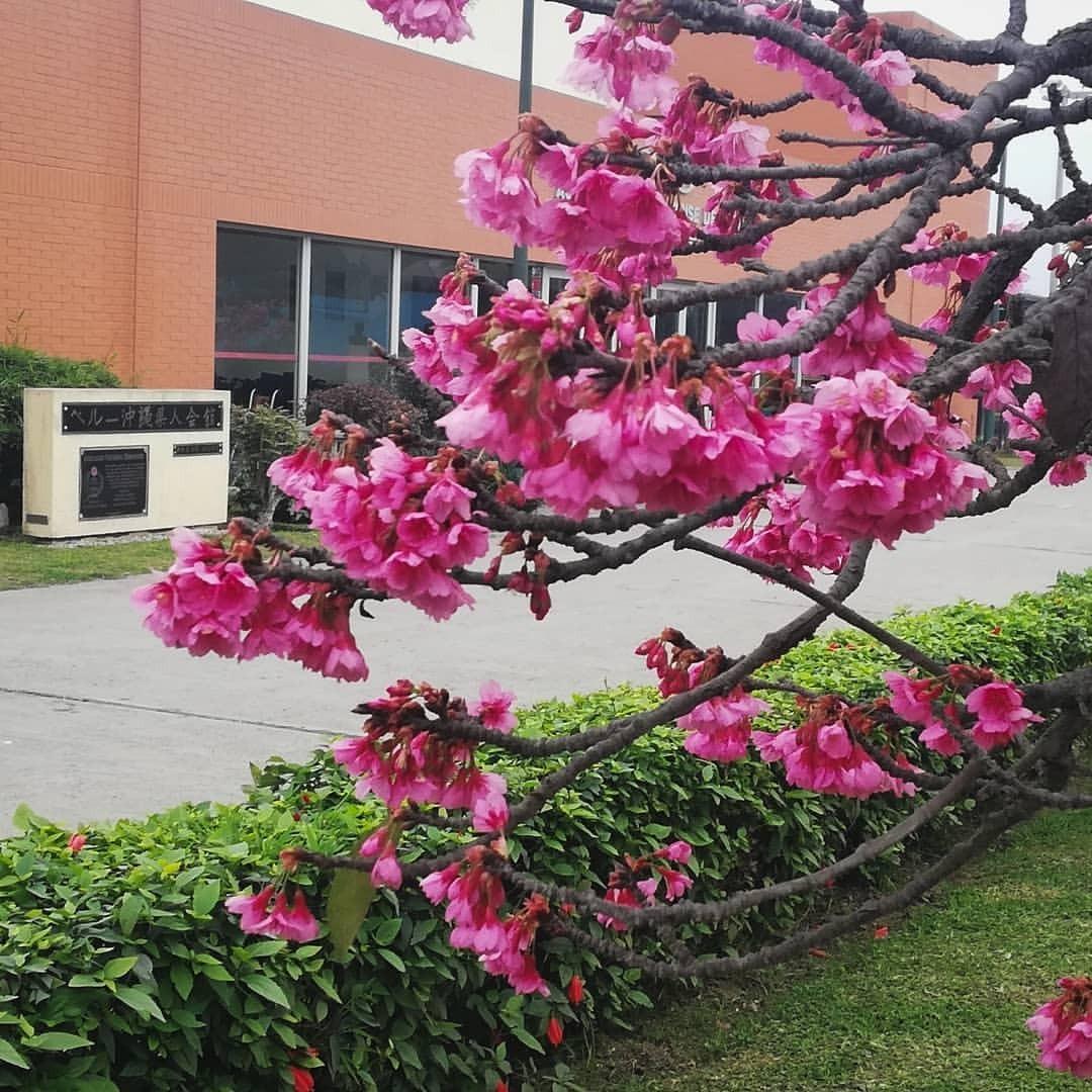 Arbol De Cerezo Japones arbol sakura , cerezo japones original importado