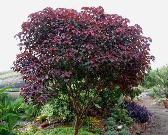 Arbol sangre libanesa rojo euphorbia cotinifolia 150 for Arbol rojo jardin