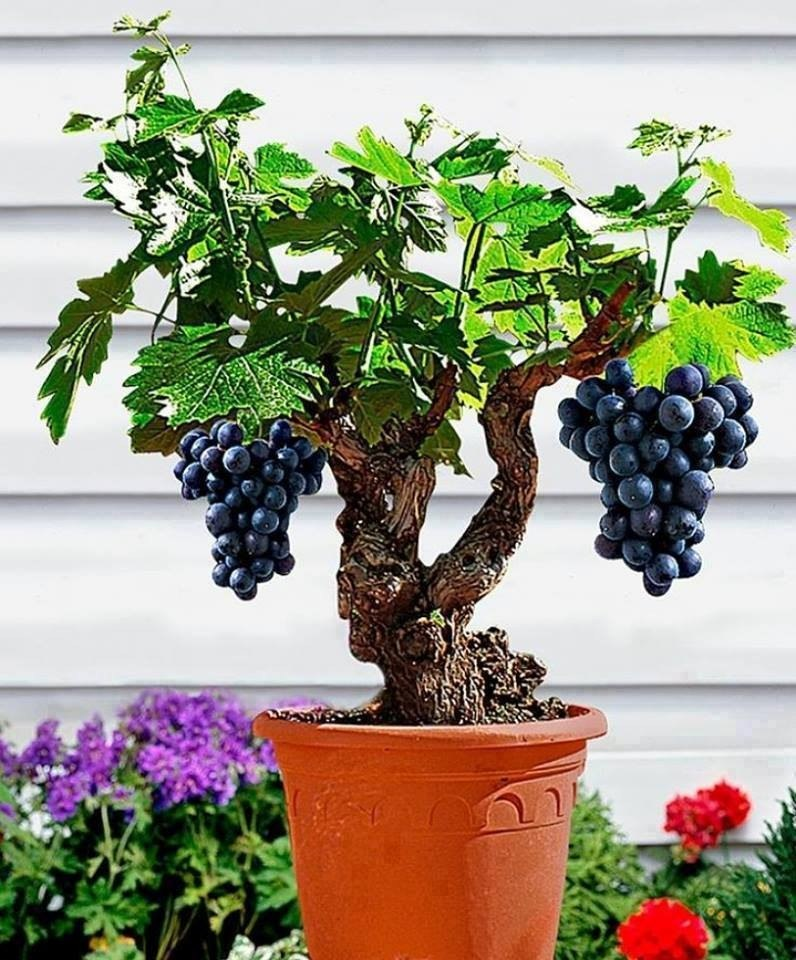 Rbol uvas bonsai arboles frutales vid bonsai semillas s for Plantas frutales