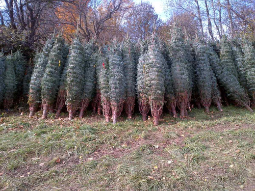 arboles de navidad naturales