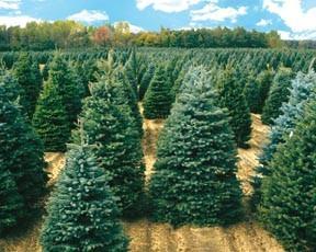 arboles de navidad naturales canadienses ventas al mayor