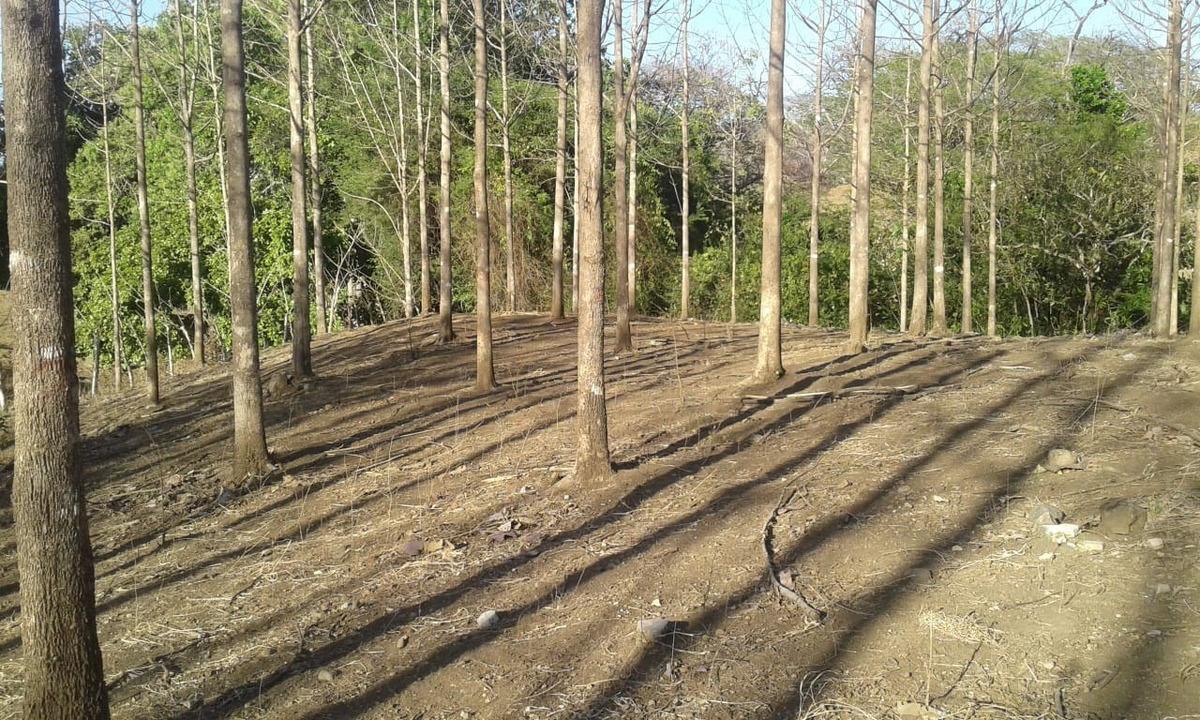árboles de teca en pie