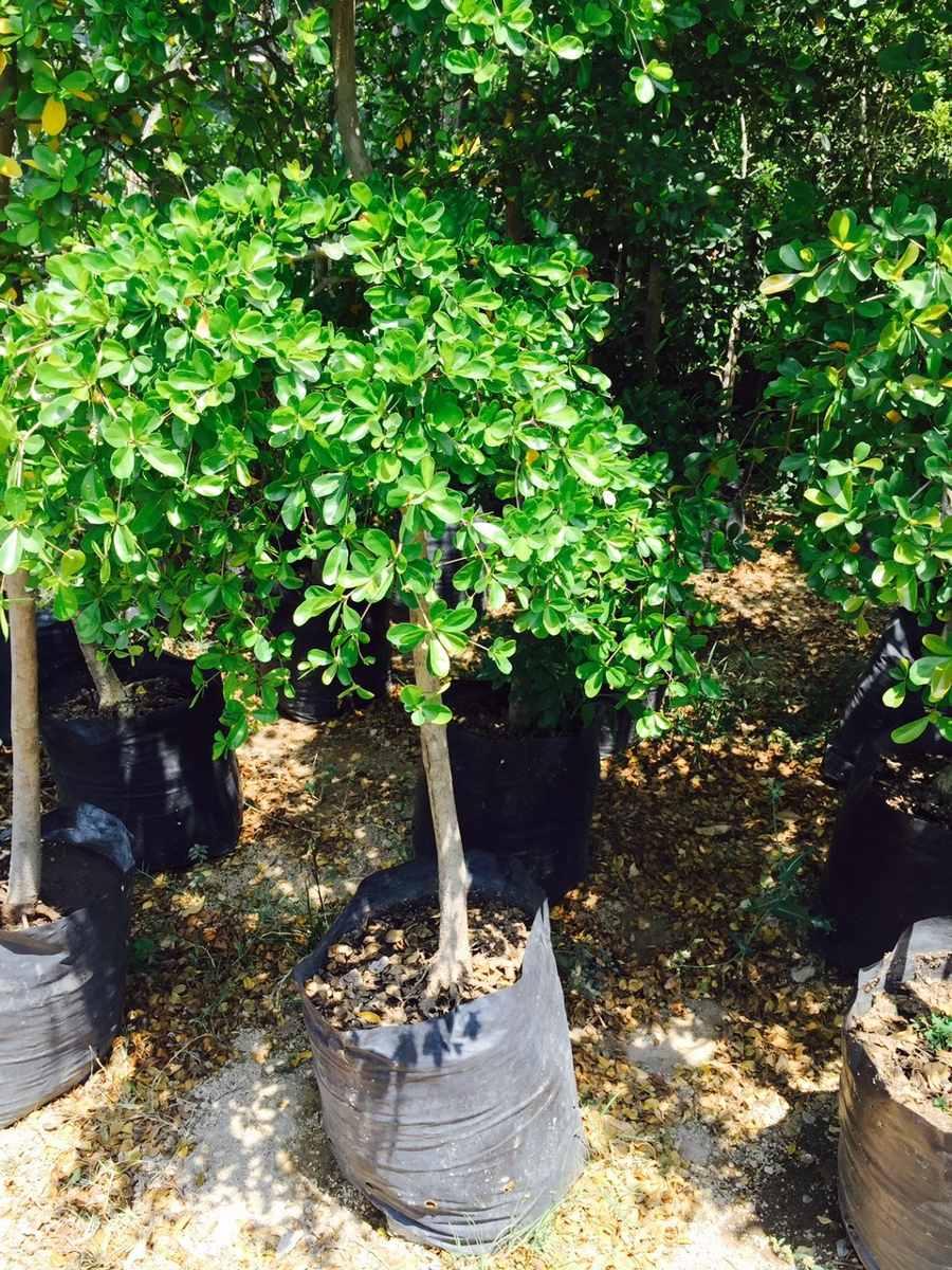 arboles diferentes variedades olivo negro de 2 3 4 mts