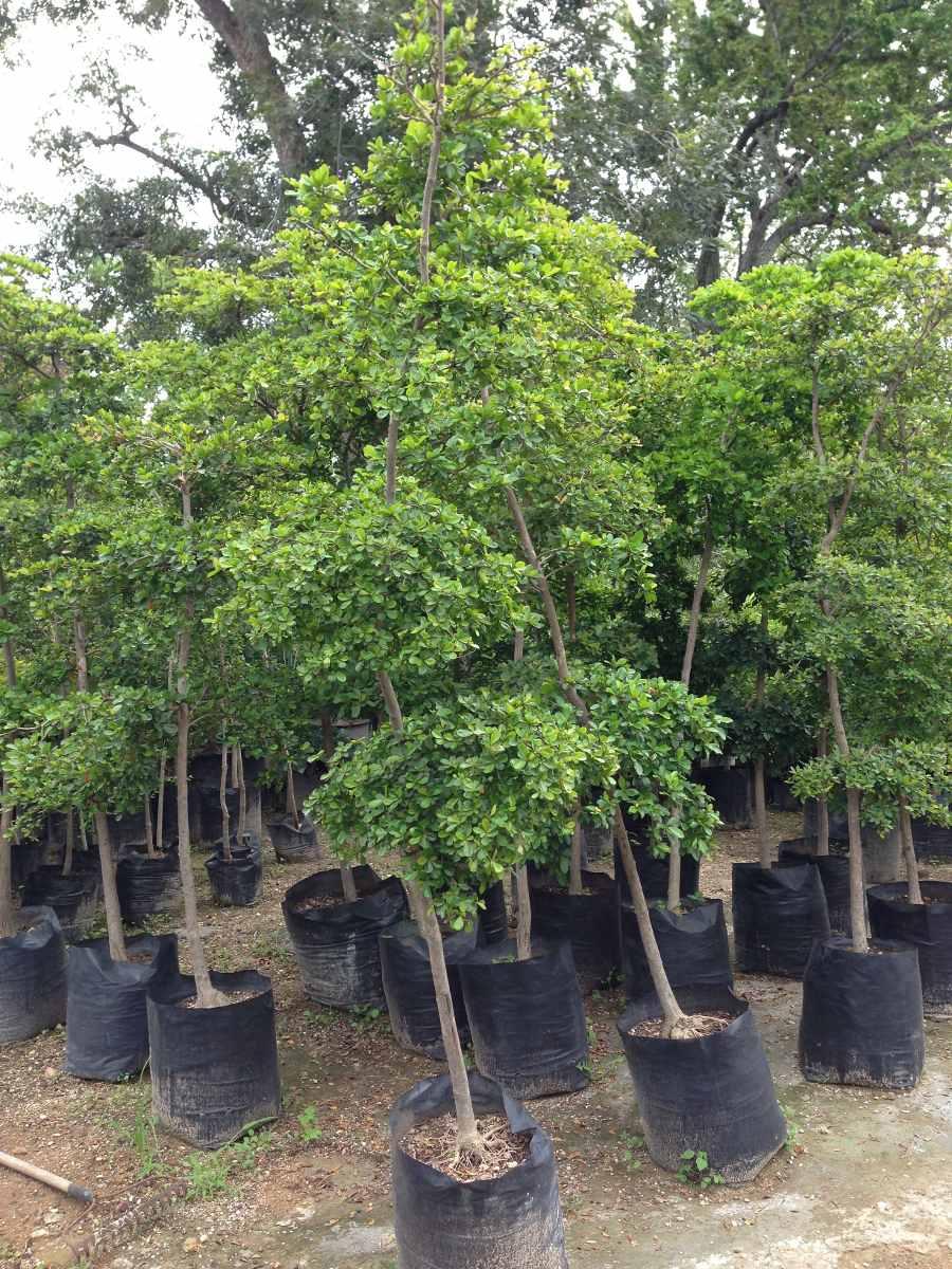 Arboles diferentes variedades olivo negro de 2 3 4 mts for Arboles para macetas de exterior
