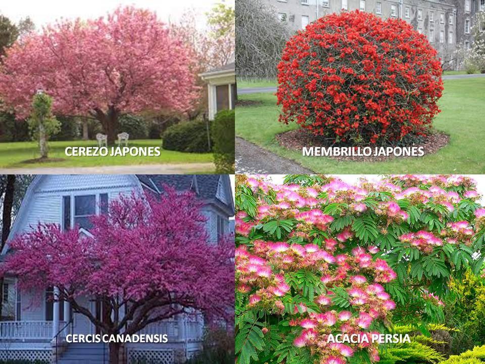 Arboles florales cerezo membrillo cercis acacia 60 for Arboles para jardin japones