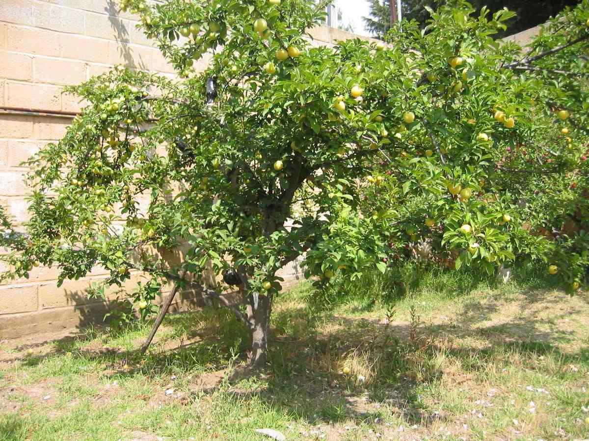 Rboles frutales manzanos ciruelos chabacanos duraznos for Arboles frutales para jardin