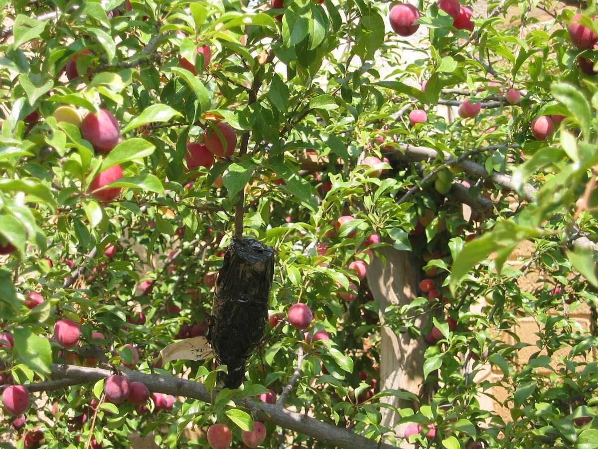 Rboles frutales manzanos ciruelos chabacanos duraznos for Arboles enanos para jardin