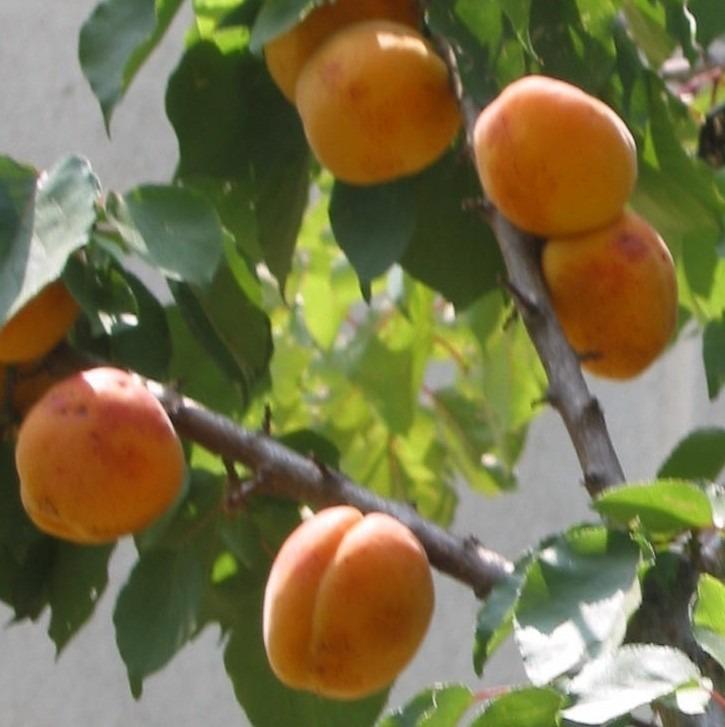Rboles frutales manzanos ciruelos chabacanos duraznos for Tipos de viveros frutales