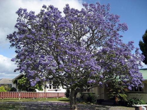 arboles: jacarandá. liquidambar, eucaliptus,palmeras, rosas