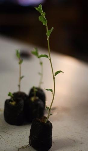 arboles pequeños de albaricoque