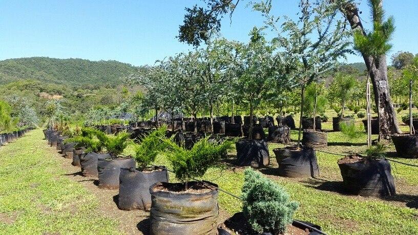 arboles plantas vivero encinos robles pinos acacias