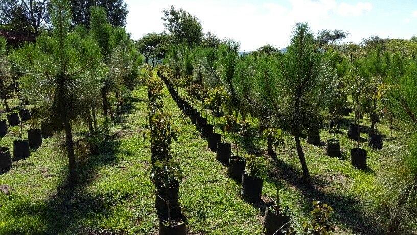 Arboles plantas vivero encinos robles pinos acacias for Viveros de plantas