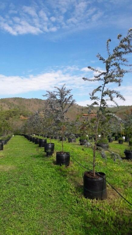 Arboles plantas vivero encinos robles pinos acacias for Vivero tu jardin