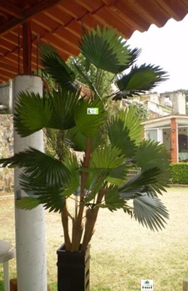 Arboles bambu plantas interiores y follaje sp0 1 650 - Bambu planta exterior ...