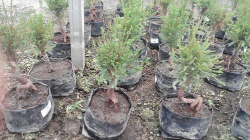 arbolito ahuehuete para bonsai