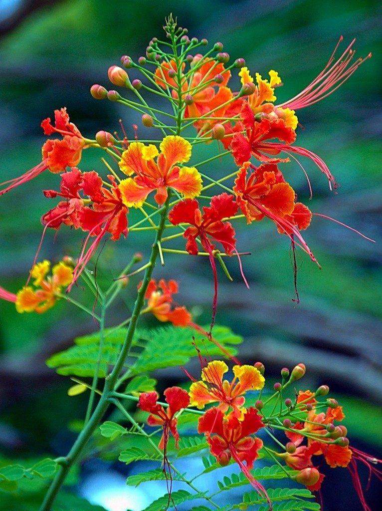 Arbolito de flamboyant enano guia cultivo bonsai jardin for Arbolitos para jardines pequenos