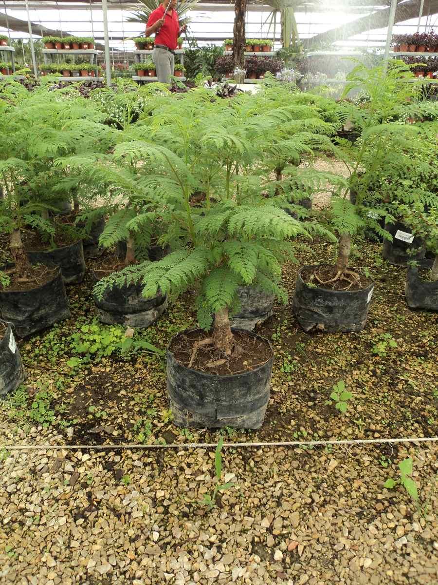 Arbolito de tarco jacaranda mimosifolia para bonsai - Arbolitos para jardin ...