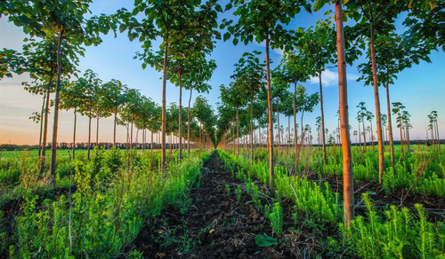 arbolito paulownia  kiri  árbol dinero reforesta méxico