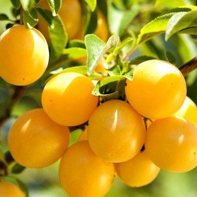 arbolitos ciruela gold prunus domestica var golden japan