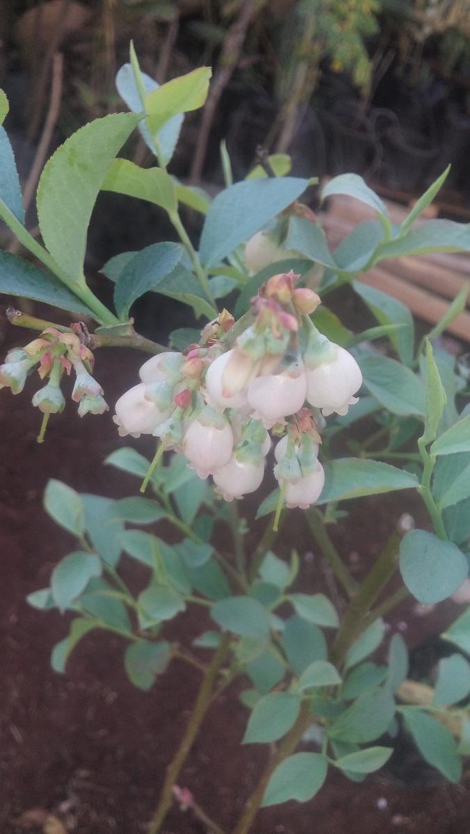 Arbusto de arandano azul planta arbol para maceta o for Arboles y arbustos para jardin