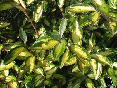 Arbusto planta cerco vivo especie a eleccion 199 00 en for Especies de arbustos