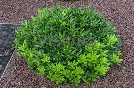 Arbustos de pittosporum enano 165 00 en mercado libre for Arbustos enanos para jardin