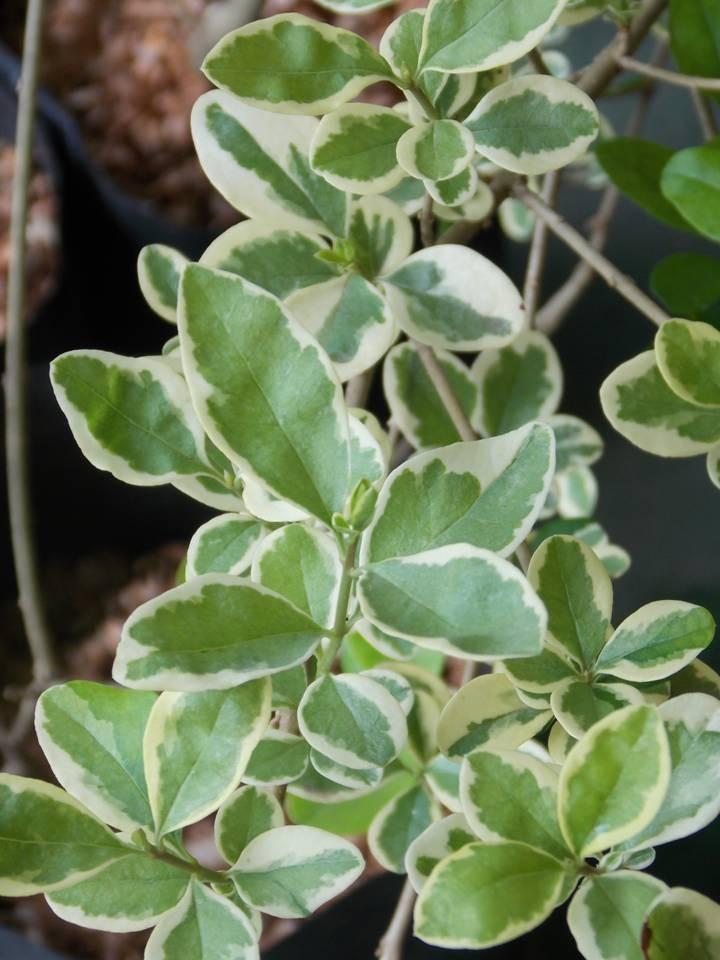 Arbustos para cerco fuertes crecen r pido varios for Arbustos decorativos jardin